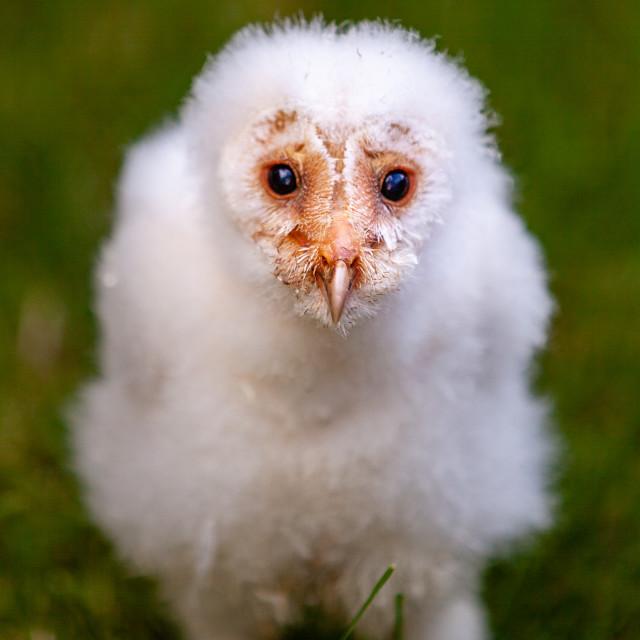 """A cute baby Barn Owl"" stock image"