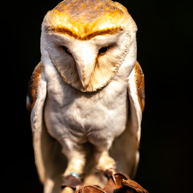 """""""An Angelic looking Barn Owl sat on a falconers glove"""" stock image"""