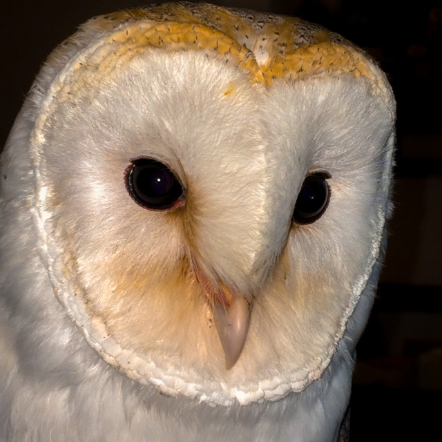 """""""Magical Heart shaped face of a Barn Owl"""" stock image"""