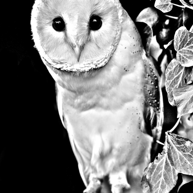 """""""Barn owl in Black and white"""" stock image"""