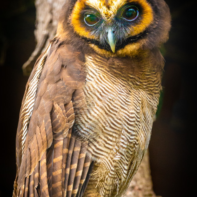 """Wonderful face of a Brown Wood Owl"" stock image"