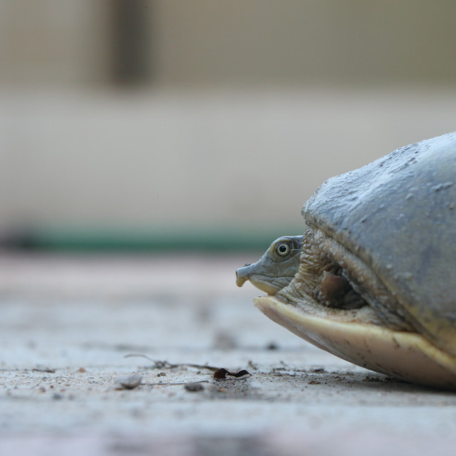 """Indian Turtle"" stock image"