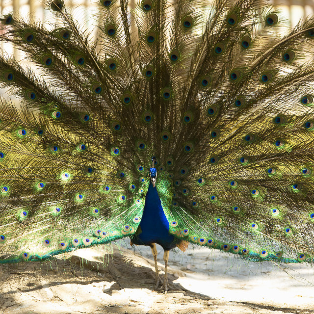 """""""Male peacock with outstretched wings in his bridal courtship."""" stock image"""