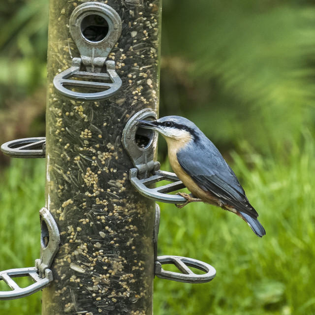 """""""A Nuthatch, Sitta europaea, feeds on seed from a feeder."""" stock image"""