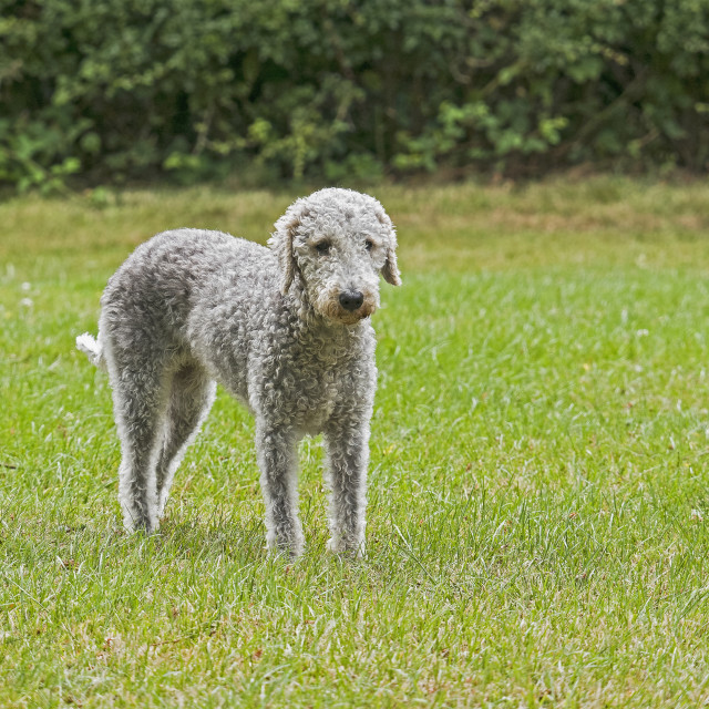 """""""Bedlington terrier standing in a field with defocussed background."""" stock image"""