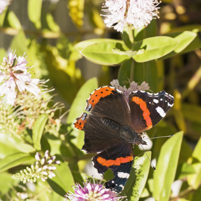 """""""Red Admiral butterfly, Vanessa atlanta"""" stock image"""