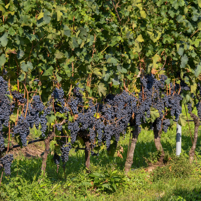 """Bunches of red grapes on vines"" stock image"