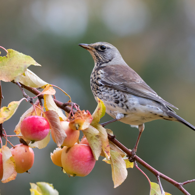 """Fieldfare feeding in a crab apple tree"" stock image"