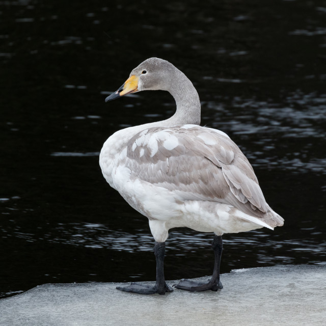 """""""First winter whooper swan"""" stock image"""