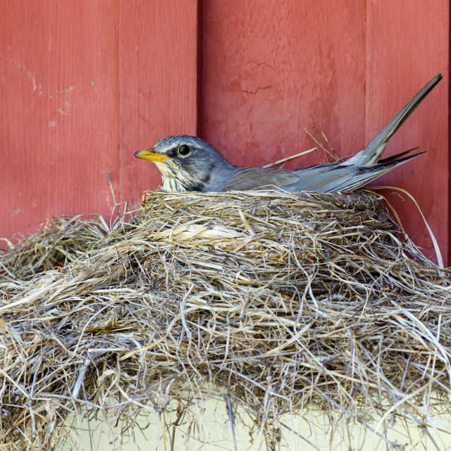 """Fieldfare nesting"" stock image"