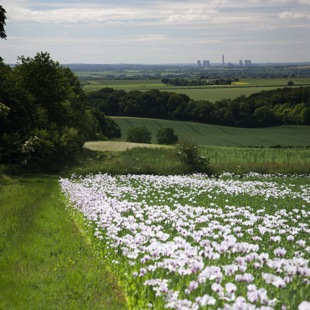 """""""Opium poppies in Oxfordshire"""" stock image"""