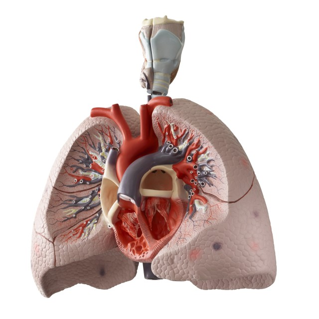 """Anatomical model of the internal organs"" stock image"
