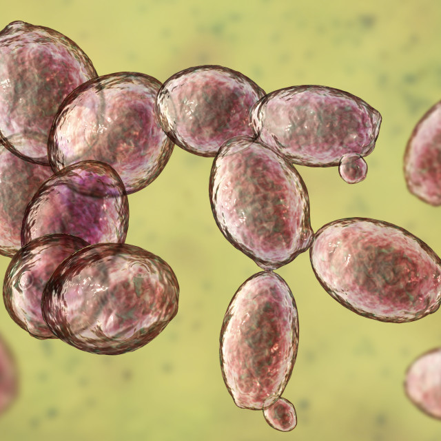 """Yeast Saccharomyces cerevisiae, illustration"" stock image"