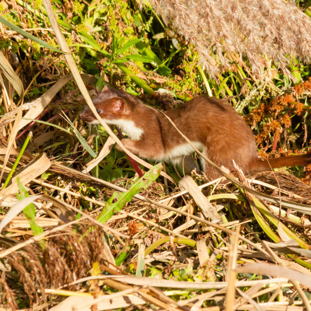 """Stoat"" stock image"