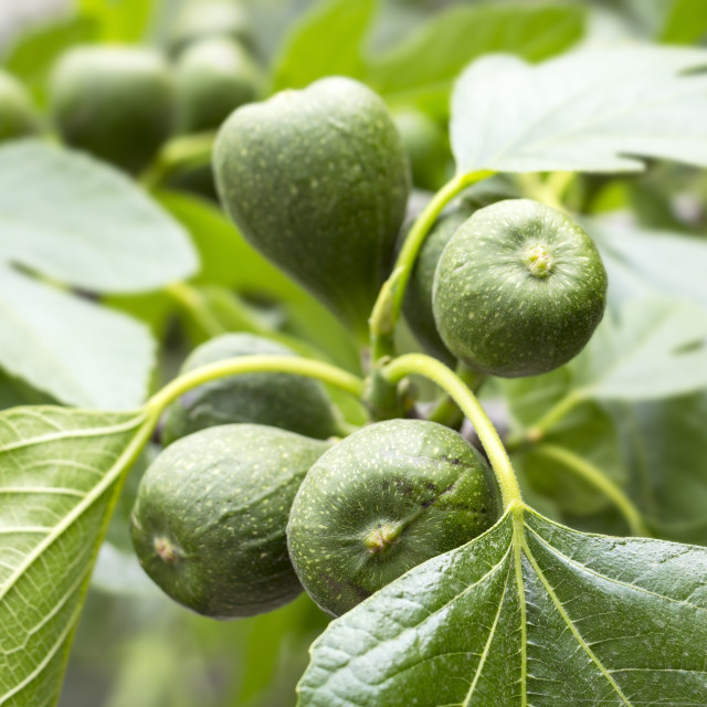 """""""View to fresh figs"""" stock image"""