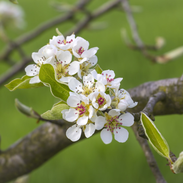 """""""Detail of a blooming fruit tree"""" stock image"""