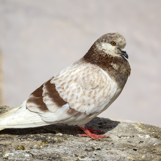 """""""A pigeon sits in the city on a wall."""" stock image"""