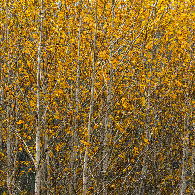 """""""Fall Color Forest"""" stock image"""