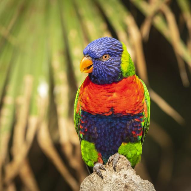 """rainbow lorikeet (Trichoglossus moluccanus)"" stock image"