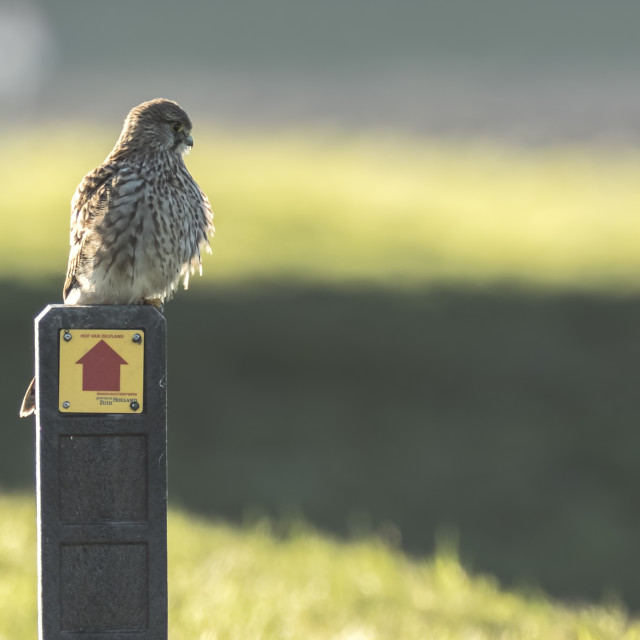 """""""Common Kestrel resting on a sign."""" stock image"""