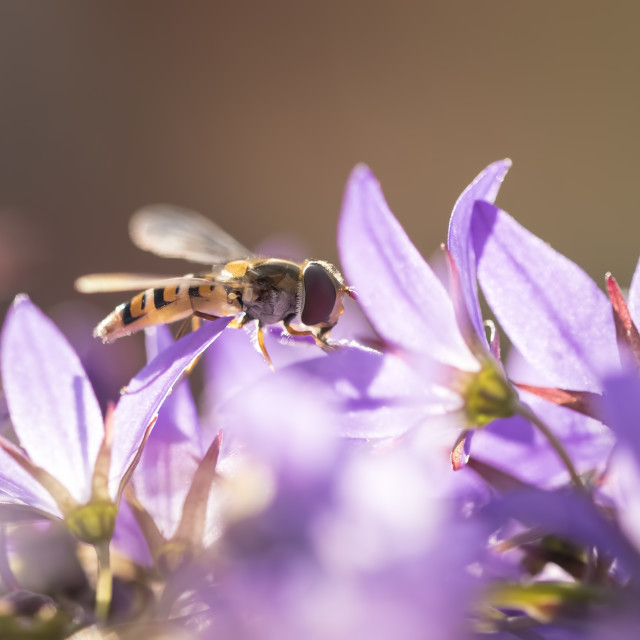 """Marmalade hoverfly"" stock image"