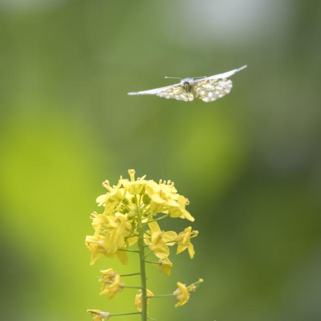 """Orange tip butterfly flying"" stock image"