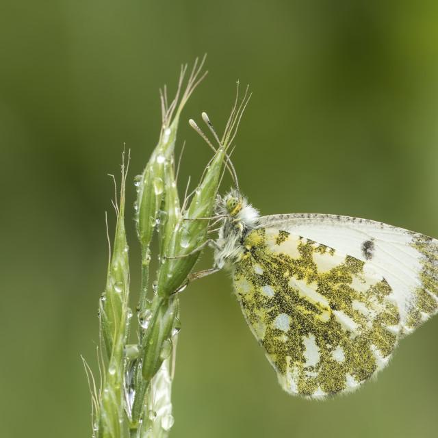 """Female Orange tip butterfly anthocharis cardamines"" stock image"