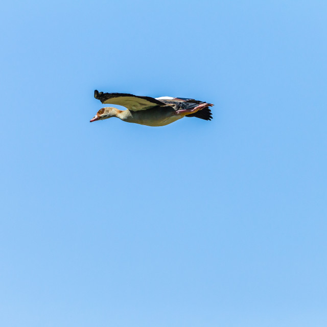 """Bird Flying Egyptian Gueese"" stock image"
