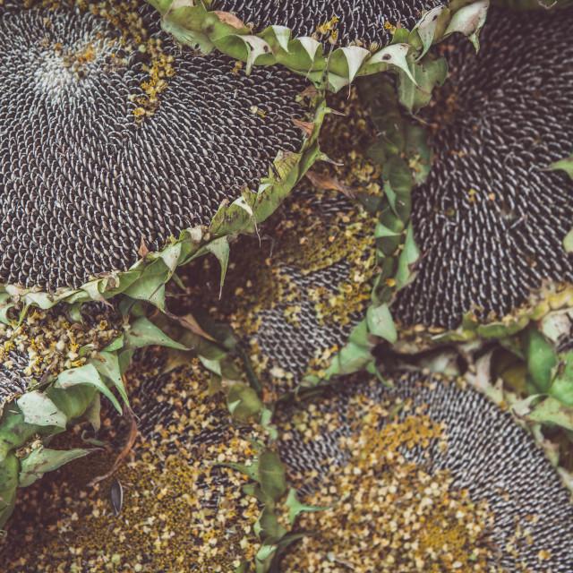 """Mature sunflowers background"" stock image"