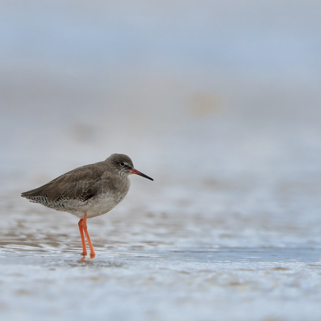 """A lone Redshank"" stock image"