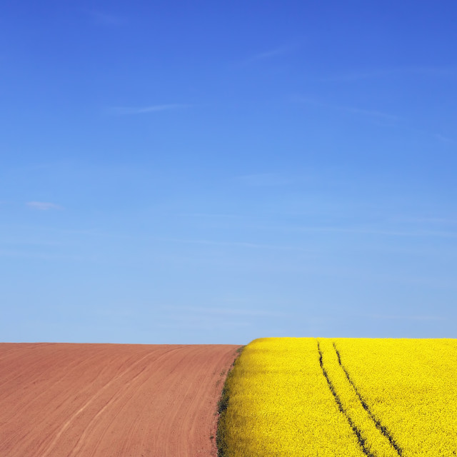 """Field of rapeseed next to it clean field and blue sky"" stock image"