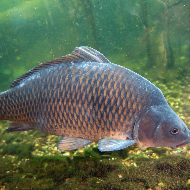 """Large, beautiful carp float in the pond ."" stock image"