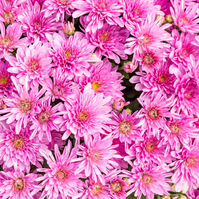 """""""Closeup of natural pink chrysanthemum under the soft end of summer light"""" stock image"""