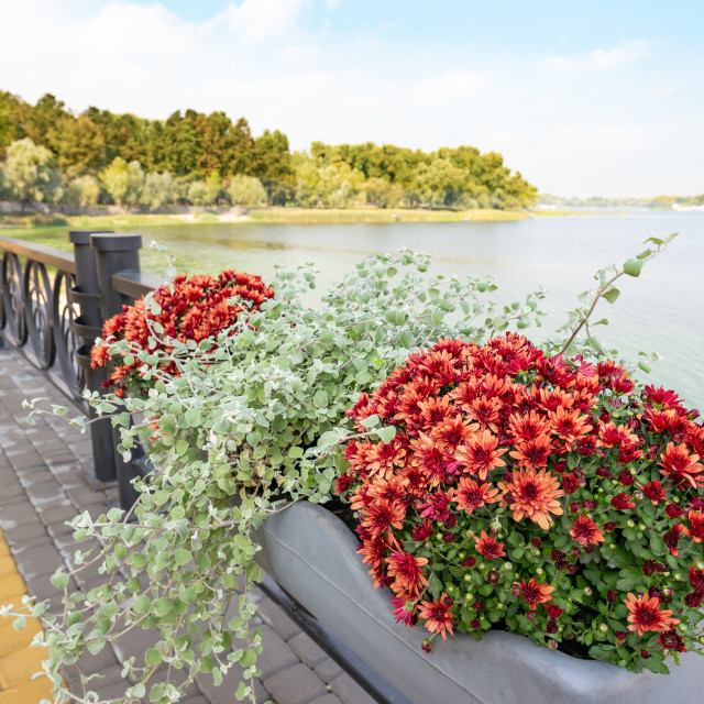 """""""A Bunch of Red Chrysanthemum Close to the Dnieper River in Kiev"""" stock image"""
