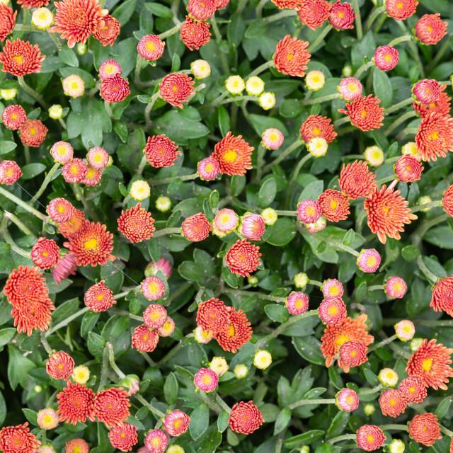 """Closeup of natural red orange chrysanthemum"" stock image"