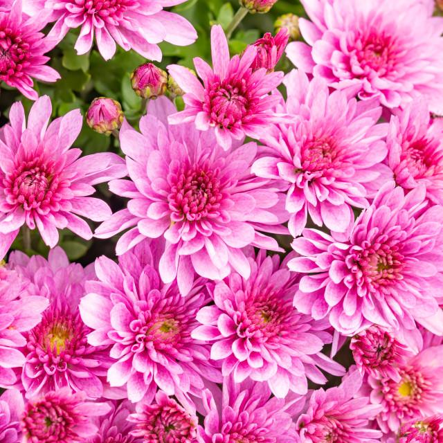 """Closeup of natural pink chrysanthemum"" stock image"