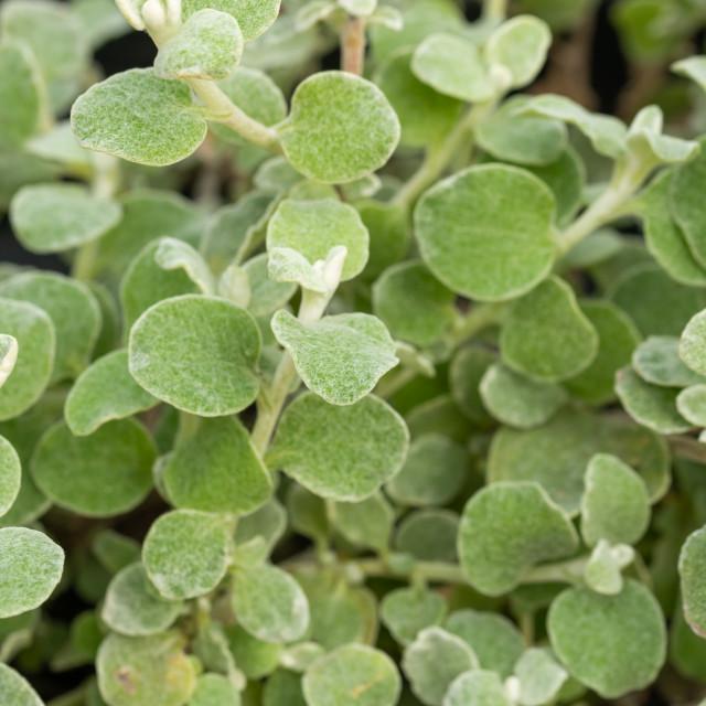 """Green Helichrysum Petiolare Leaves"" stock image"