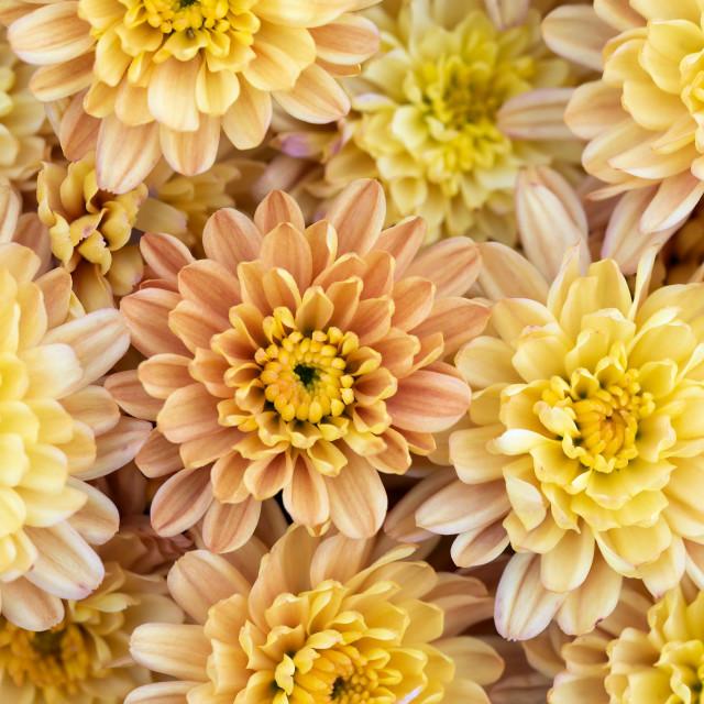 """Closeup of natural yellow and orange chrysanthemum"" stock image"