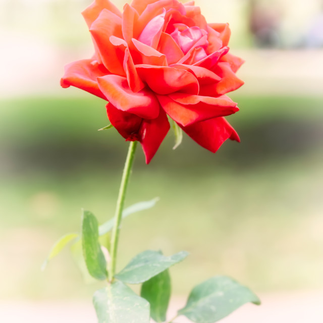 """""""Natural red rose with soft focus"""" stock image"""