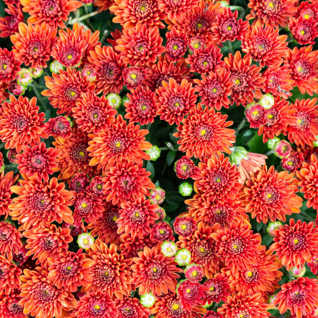 """""""Closeup of natural red chrysanthemum under the soft end of summer light"""" stock image"""