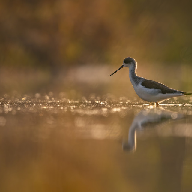 """Black-winged Stilt"" stock image"