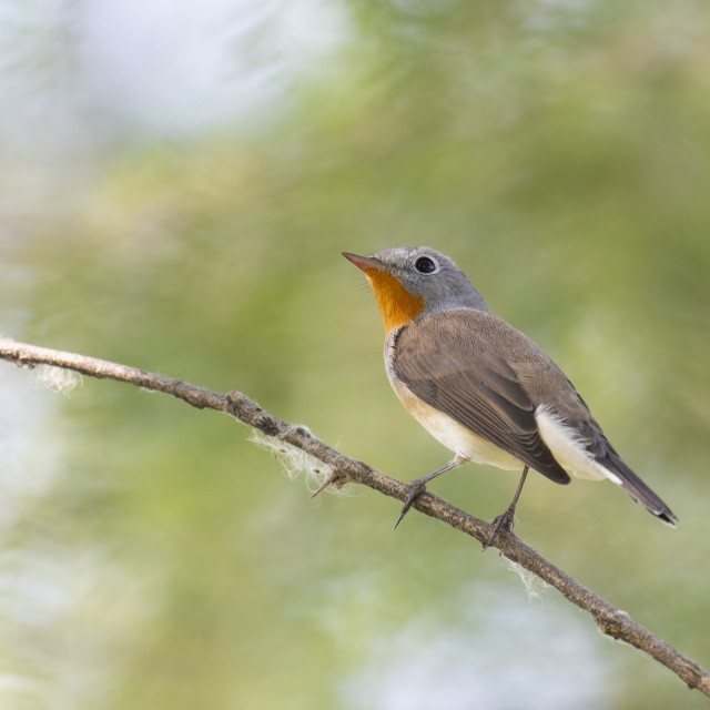 """Red breasted flycatcher"" stock image"