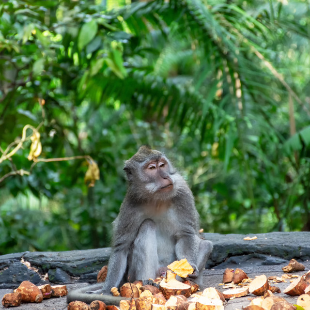 """Long-tailed macaque eating time at Sacred Monkey Forest Sanctuary, Ubud, Bali, Indonesia."" stock image"