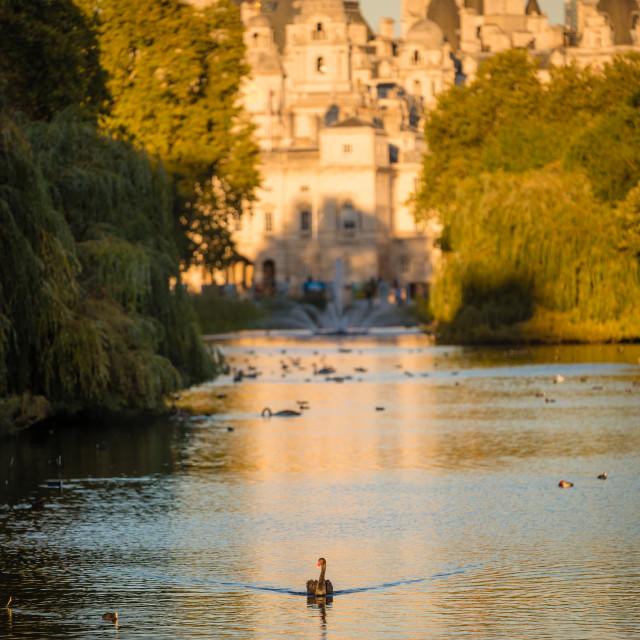 """""""Black swan in London"""" stock image"""