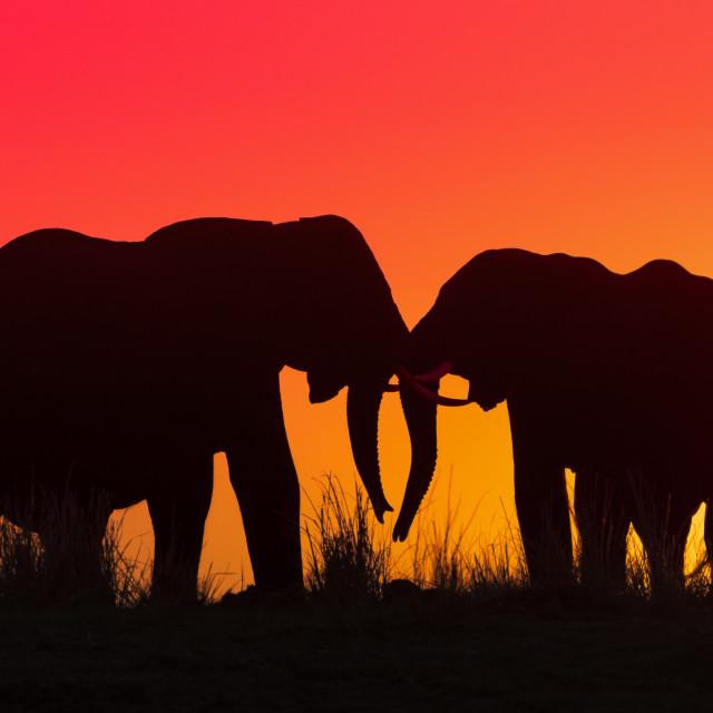 """""""Elephant sunset"""" stock image"""
