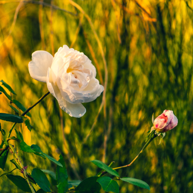 """Rose in golden light"" stock image"