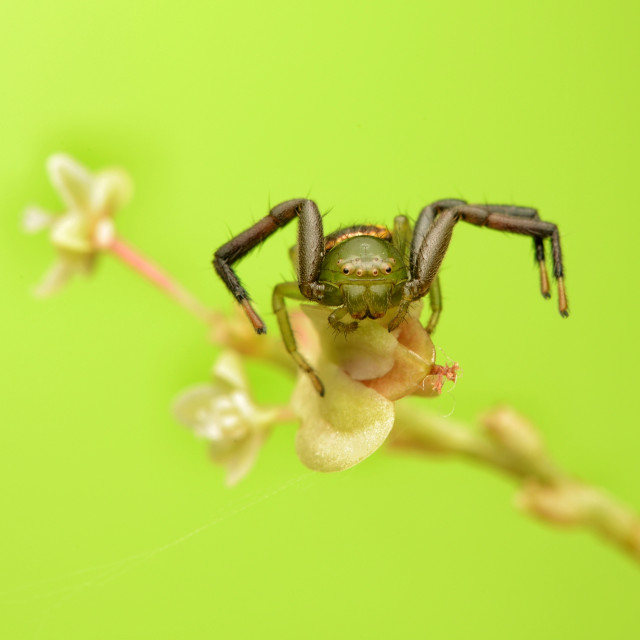 """Green crab spider"" stock image"