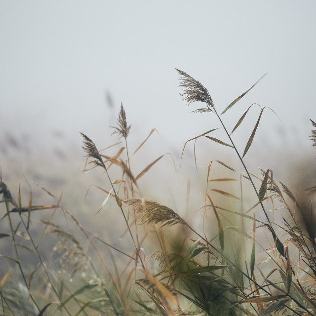 """""""Reeds in gloomy autumn morning"""" stock image"""