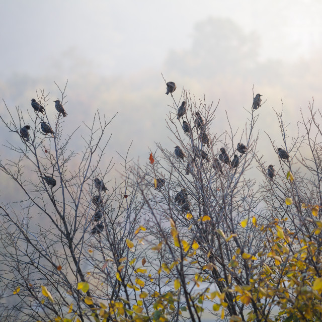 """""""Starling birds sitting on the tree in the morning"""" stock image"""