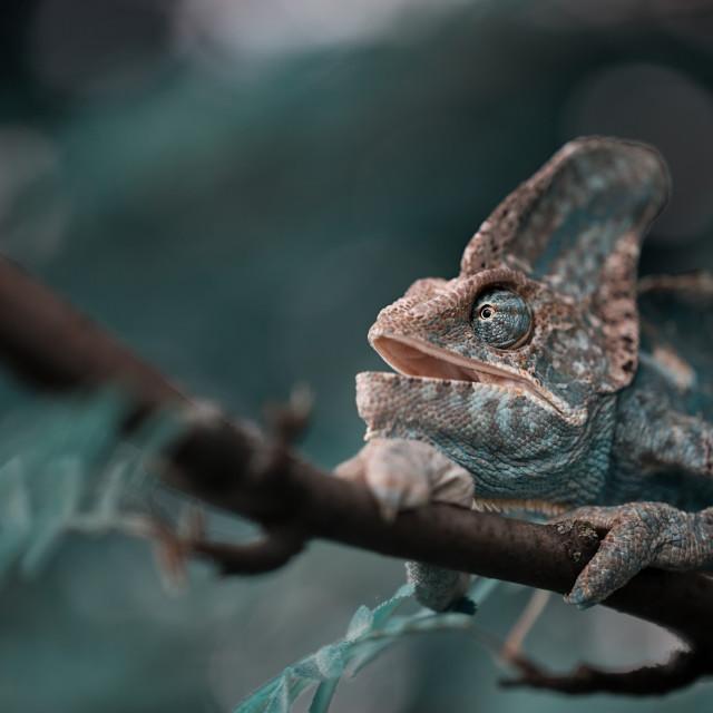 """Veiled Yemeni chameleon is walking on a tree branch."" stock image"